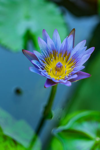 Beauty In Nature Close-up Floating On Water Flower Flower Head Flowering Plant Fragility Freshness Growth Inflorescence Leaf Lotus Water Lily Nature No People Petal Plant Plant Part Pollen Pollination Pond Purple Vulnerability  Water Water Lily