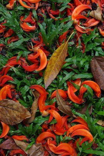Newguinea Creeper / Red Jade Vine : Grass Nature Newguinea Creeper Red Jade Vine Beauty In Nature Fall Fallen Flower Leaf Orange Color Outdoors Tropical