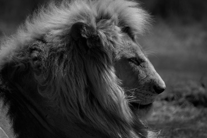 Predators in the wild Animals Cats Fierce ! Lion Mane Lion Sideon Predators White Lion Wildlife & Nature
