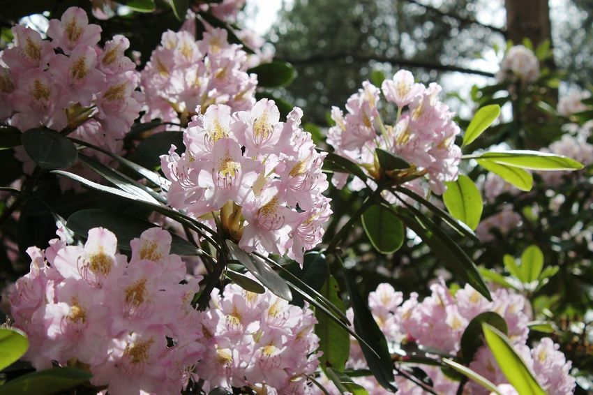 Flower Fragility Blossom Nature Beauty In Nature Growth Pink Color Botany Freshness Petal Tree White Color Springtime Branch No People Day Close-up Flower Head Outdoors Plant Botanical Garden Manyflowers Flowers Flowergarden Garden