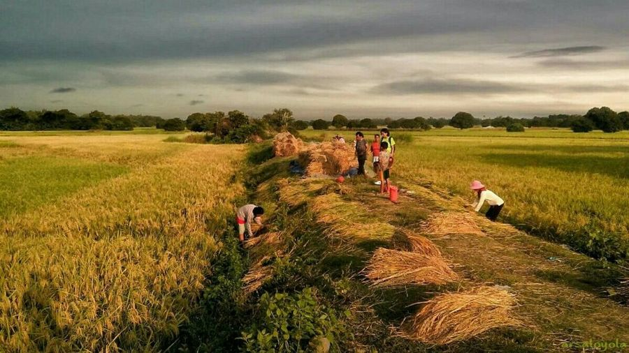 43 Golden Moments golden harvest Landscape Golden Moments  Landscape_photography Golden Harvest The Week On EyeEm The Great Outdoors - 2017 EyeEm Awards EyeEm Selects Lost In The Landscape
