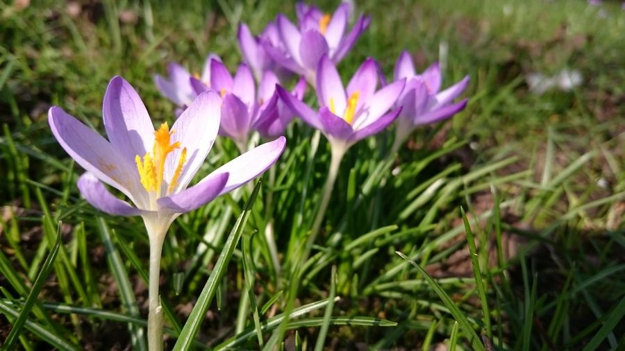 Springtime Spring Is Coming  Spring Is In The Air Crocus Flowers Feeling Happy We Don't Have To Wait Much Longer Showcase March🌷🌻🌹🌞🌼