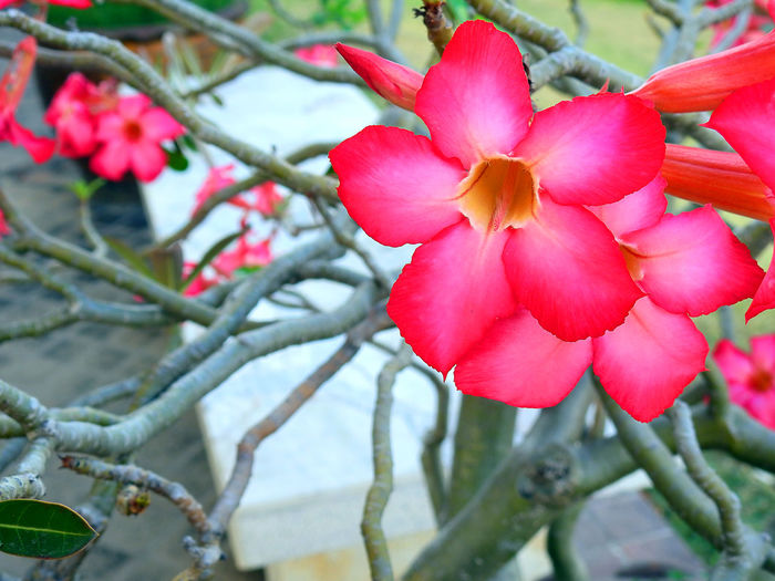 Adenium Flower Desert Rose Adenium Beauty In Nature Blooming Branch Close-up Day Desert Rose Flower Flower Flower Head Fragility Freshness Growth Nature No People Outdoors Petal Plant Red Red Adenium Red Flower Red Flower In Bloom Red Flowers Tree
