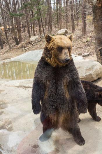Bear on rock in forest