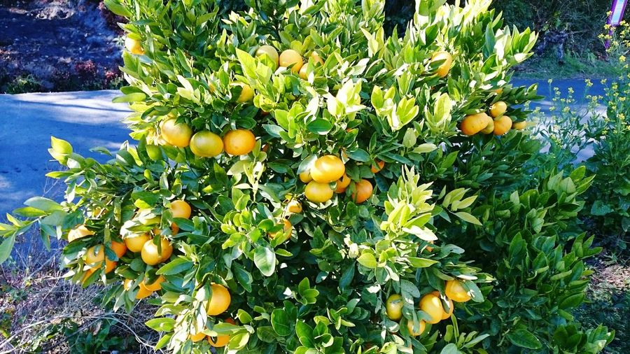 Orange Nature Fruit 974🌋🌌❤️ Cilaos Photography Monde Oklm Reunion Island