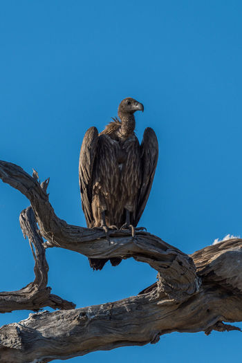 Low Angle View Of Vulture Perching On Log Against Clear Blue Sky