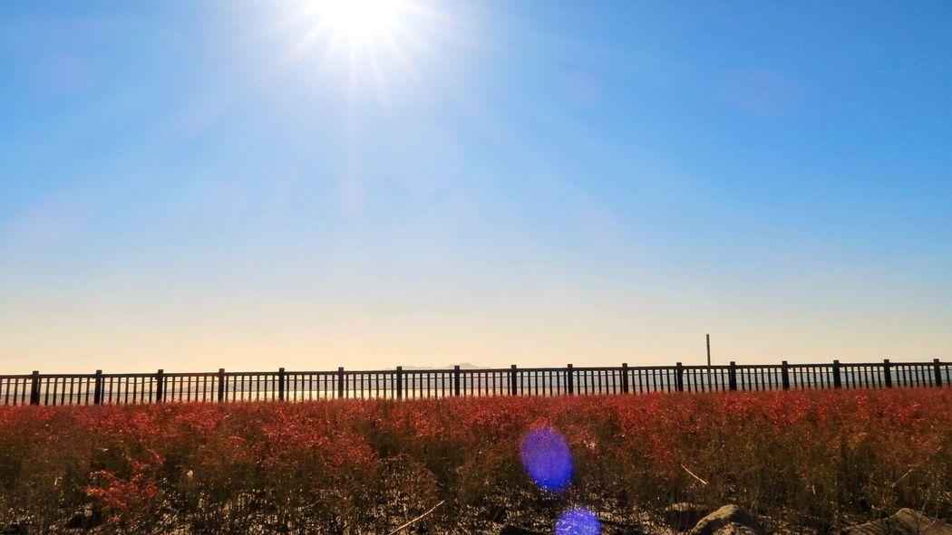 シチメンソウ 干潟よか公園 Sunlight Lens Flare Sun Sunbeam Nature Outdoors Sky Bridge - Man Made Structure No People Beauty In Nature Sunset Clear Sky Growth Scenics Plant Blue Day Architecture