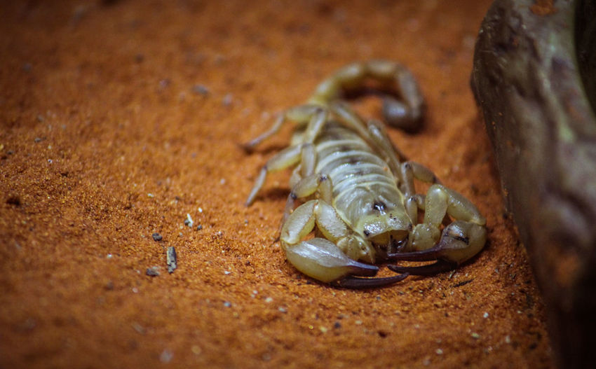 Animal Themes Animal Wildlife Animals In The Wild Arachnid Close-up Day Food Hermit Crab High Angle View Nature No People Outdoors Sand Scorpion