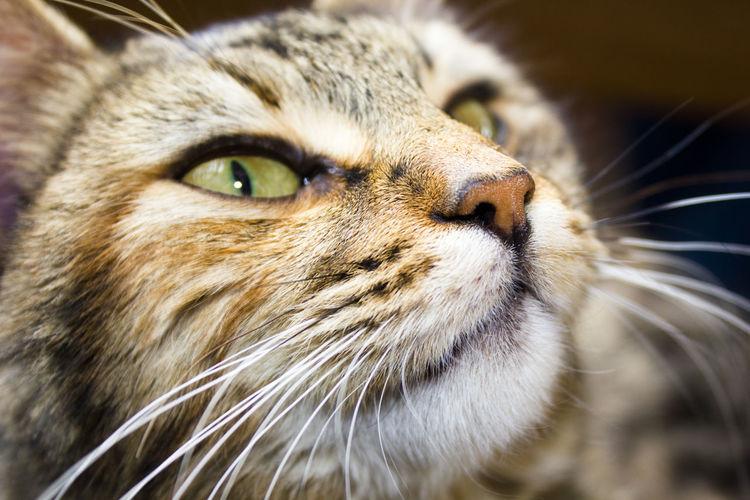 cat eye Mammal