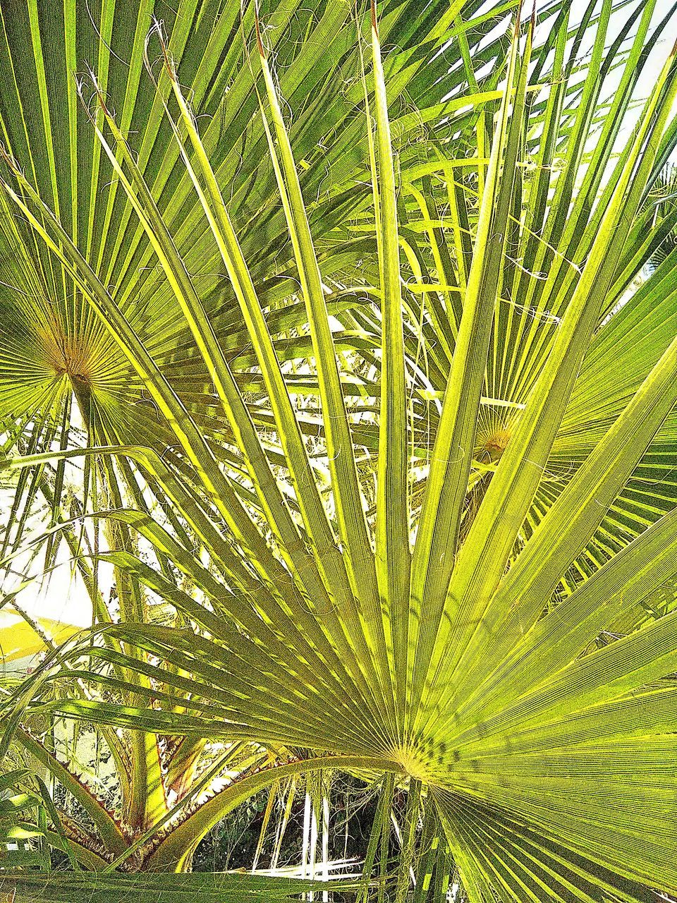 palm tree, palm leaf, frond, growth, green color, leaf, tropical climate, nature, beauty in nature, freshness, day, plant, close-up, backgrounds, no people, outdoors, fragility, exoticism, tree, flower