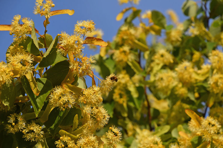 Lindern tree in bloom with honey bee pollinating among yellow blossoms Beauty In Nature Bee Blooming Blossom Blossoming  Blossoms  Blue Sky Close-up Flower Head Honey Honey Bee HoneyBee In Bloom Linden Linden Tree Nature Petal Pollination Season  Summer Summertime Yellow