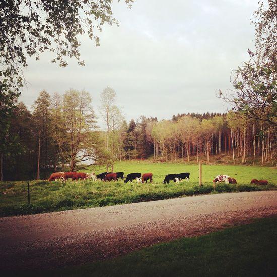 Sweden Countryside Stockholm Stockholm, Sweden Cows Green