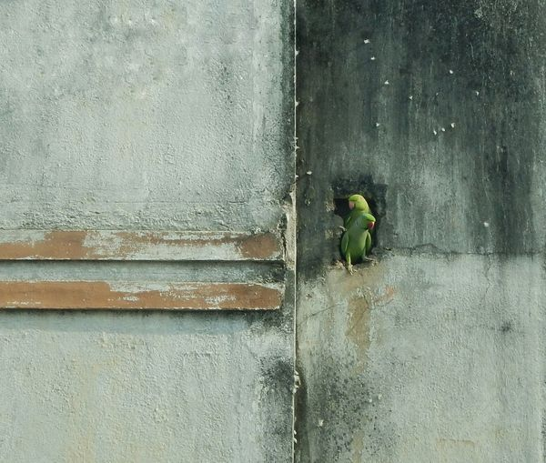 Parrots on wall