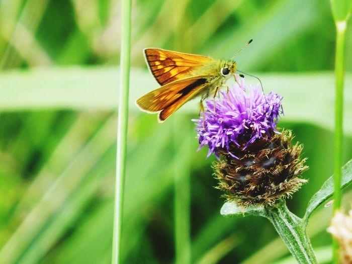 Butterfly Skipper Butterfly Thistle Flower Wicken Fen Grass