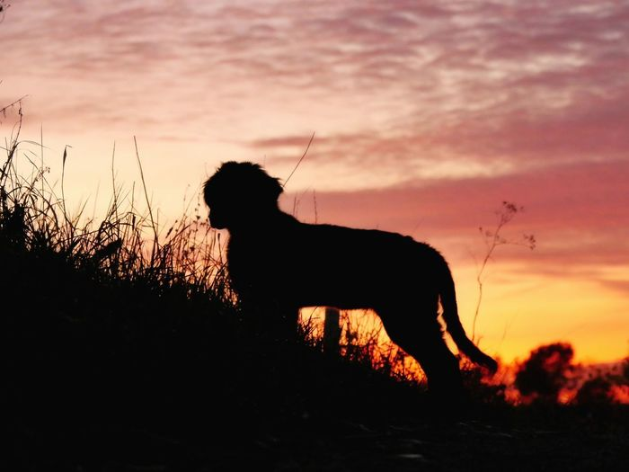 Silhouette dog standing on field against sky during sunset