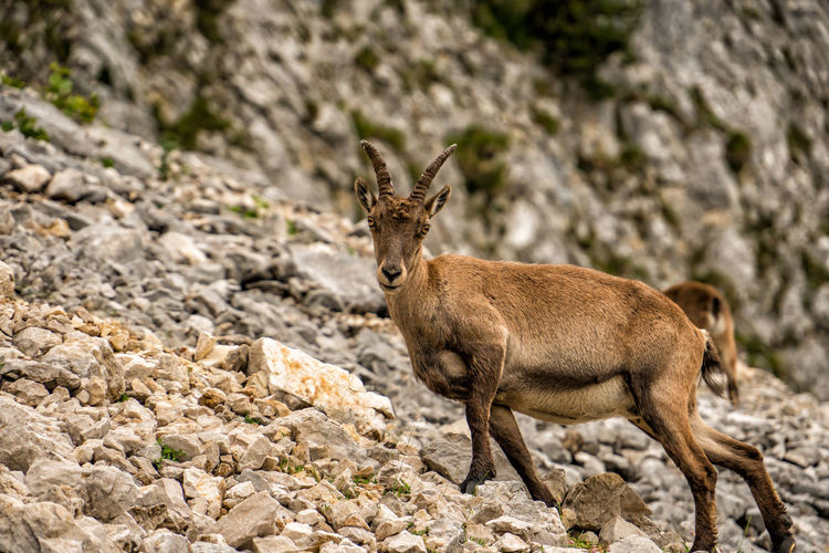 Alpine ibex Alpine Ibex Capra Ibex Steinbock Ibex Animal Themes Animal Animal Wildlife Mammal Animals In The Wild One Animal Rock Rock - Object Solid Day No People Nature Deer Land Vertebrate Focus On Foreground Domestic Animals Outdoors Brown Selective Focus Herbivorous