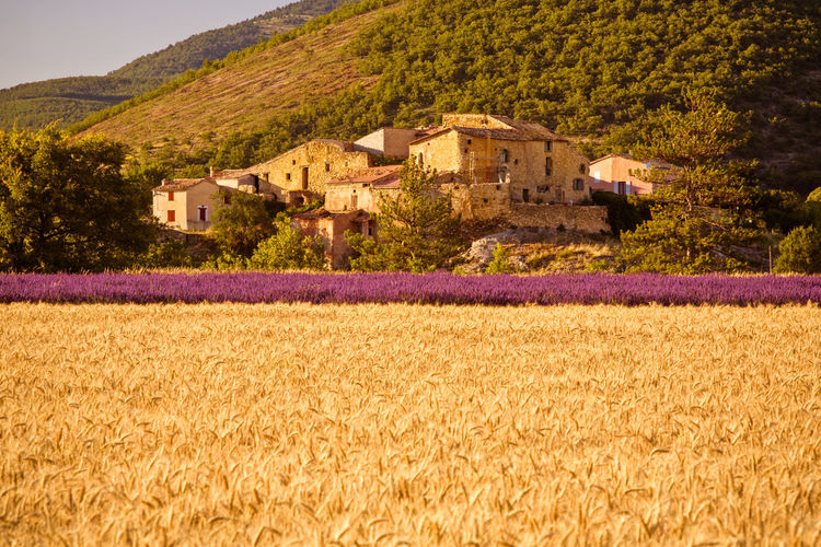 Lavender of Valensole, France Agriculture Environment Field Growth Land Landscape Nature No People Outdoors Plant Rural Scene Scenics - Nature