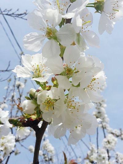 Flower Branch Growth Blossom Nature Springtime White Color Close-up No People Fragility Tree Beauty In Nature Day Outdoors Plant Full Frame Flower Head Freshness Sky