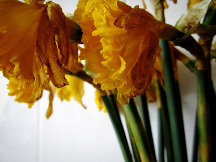 "Daffodils day 7 ""day of the dead 2"" Dead Flowers Daffodils Flowers Yellow Yellow Flowers Stems Are Pretty Too Flowers_collection Petals Falling Heads Down Dead Nature Details Of Decay Details Of My Life Details Minimalist Deceptively Beautiful Nature_collection From My Point Of View Yellow Flower Faded Beauty Decay Sadness Sad"