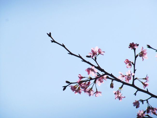 Blue Sky Branch Cherry Blossoms EyeEm Nature Lover Focus On Foreground Minimalism Nature Pink Flowers Beautiful Nature Nature_collection Simplicity Spring Springtime Stem Pink Clear Sky Pretty Shades Of Blue Blossoms  Pastel Power