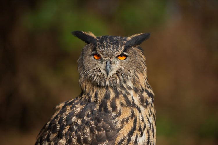 Eyeem Birdphotography EyeEm Birds Nature Photography Nature_collection Nature Animal Themes Close-up Bird Photography Animal Body Part Owl Bird Of Prey No People Focus On Foreground Bird Animal Wildlife One Animal Bubo Bubo Eagle Owl  Eagle Owl Portrait Eurasian Eagle Owl
