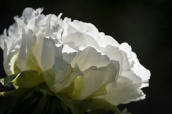 Real Jardín Botánico de Madrid Beauty In Nature Black Background Close-up Flower Flower Head Fragility Nature No People Outdoors Peonia Peonia Flower Petals🌸 Plant White