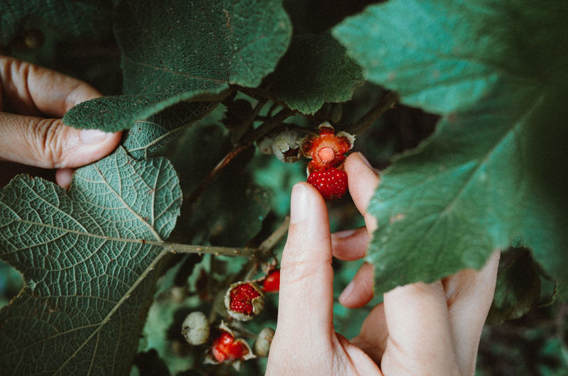 My Summer EyeEm Nature Lover The Week on EyeEm Vietnam Wildlife & Nature Berry Fruit Finger Food Food And Drink Fruit Hand Healthy Eating Hoang Ann Holding Human Body Part Human Finger Human Hand Leaf Plant Plant Part Red