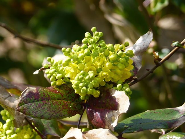 Mahonia in spring garden ... :-) Beauty In Nature Bloom Blooming Bud Collection Buds Buds In Bloom Buds On Branches Close-up Day Freshness Fruit Garden Growth Mahonia Mahonia Aquifolium Mahonie Mahonies Nature Nature Nature Photography No People Outdoors Spring Spring Life Springtime
