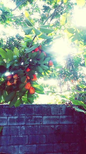 Fruits And Vegetables Native Ackeetree Jamaicanfood Heritage