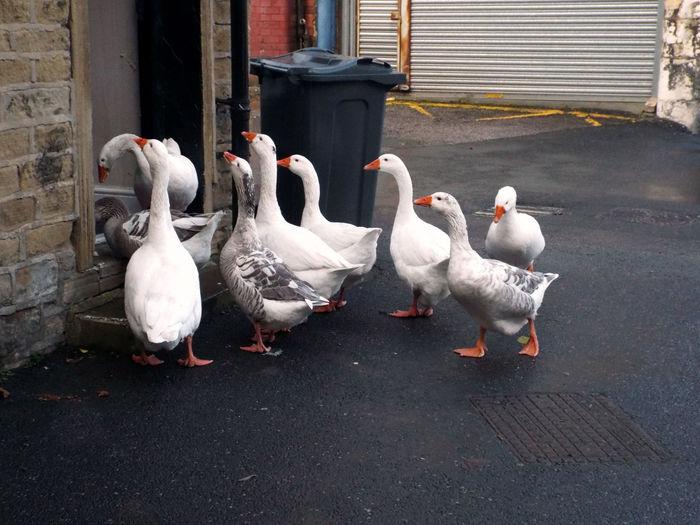 Geese in doorway