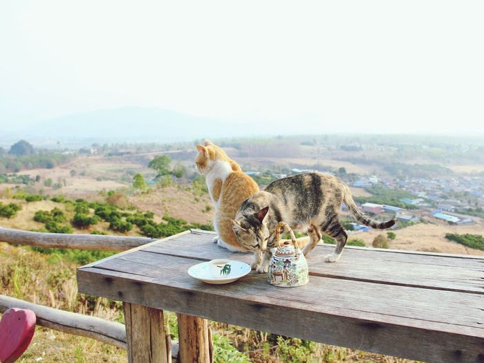 Tea with Cats Chinese Tea Foggy Morning Valley Veiw Outdoors No People in Pai Thailand North Thailand South East Asia