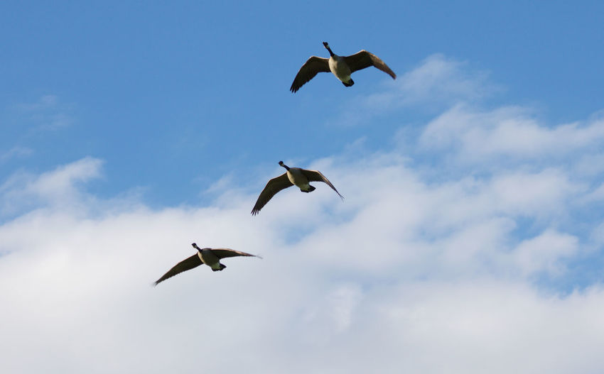 Animals In The Wild Animal Themes Animal Wildlife Bird Flying Animal Group Of Animals Sky Blue Day Motion No People Cloud - Sky Mid-air Spread Wings Canadian Geese Three Animals