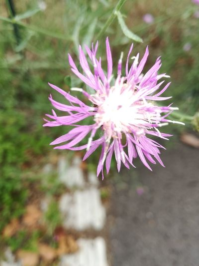 Beauty In Nature Flower Flower Head Fragility Growth Nature Outdoors Pink Color