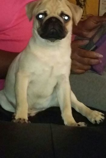 My boy King Pug Ilovemypug