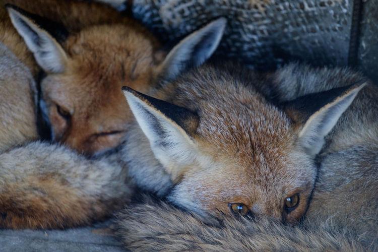 Animal Themes Close-up Fox Lying Down Mammal Wild