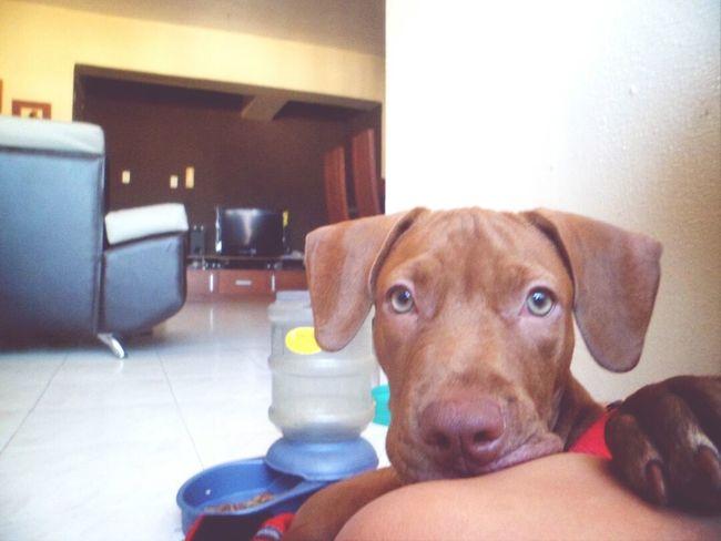 My Dog <3 I Love My Pit Bull She Cute Dog