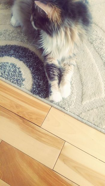 Wood Floors Carpet Design Calico Cat One Animal Animal Themes No People Indoors  Pets Day Close-up