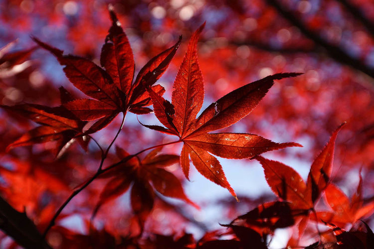 Close-Up View Of Red Maple Leaves
