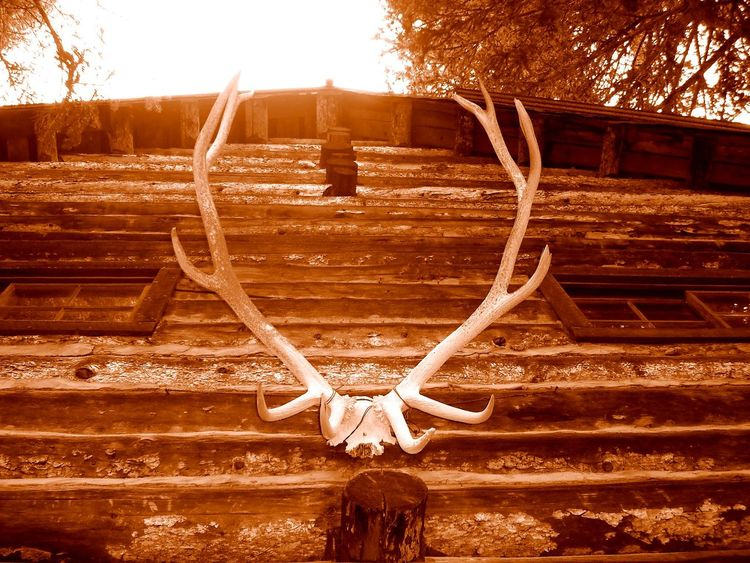 Hunting Lodge Log Cabin Antlers Antlers On Wall Old Cabin Abandoned Places Abandoned Buildings Abandoned & Derelict If These Walls Could Talk Back In Time Forgotten Things Forgotten Places  Forgotten Walls Forgotten Memories Sepia Photography Sepia_collection Sepiatone Sepia Toned Sepia Tone Looking Up Quiet Places Old But Awesome Lost In The Woods Built To Last Cabin In The Woods
