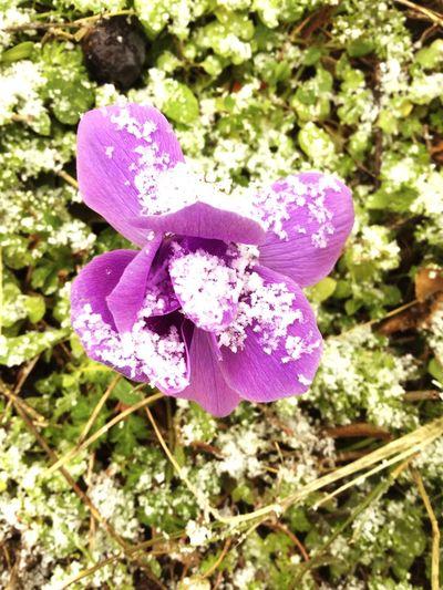 Anemone Snow ❄ First Eyeem Photo
