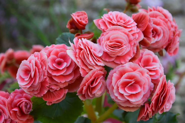 Autumn Beautiful Begonia Flower Begonia Flowers Is Beautfiful Such As Rose Colors Dowload EyeEm Best Shots EyeEm Nature Lover EyeEmNewHere I LOVE PINK  Nature Pink Plant Winter Cold Double Europe Flowers Garden No Sun Petals Photo Rose - Flower Sweet White EyeEmNewHere