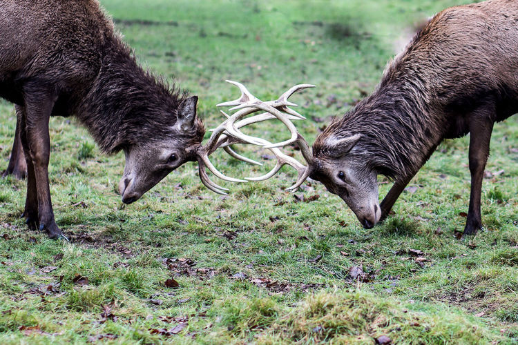 Side view of deer locking horns on field at bushy park