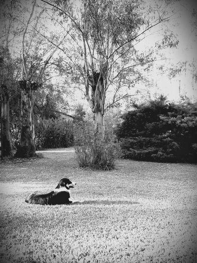 Dogs Border Collie Dogoftheday Monocrhome Black & White