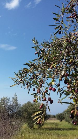 Olives Taking Photos Nature Photography Tree
