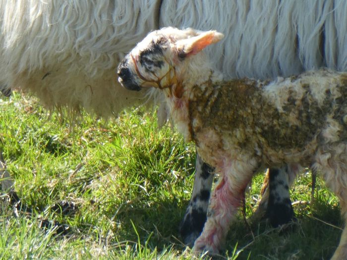 Newborn Lamb Outer Hebrides Spring Sheep Newborn Lamb Isle Of Lewis Mammal Animal Animal Themes Domestic Animals One Animal Pets Domestic Vertebrate Canine Plant Nature Land Day Field Standing Grass Sunlight Outdoors No People My Best Photo