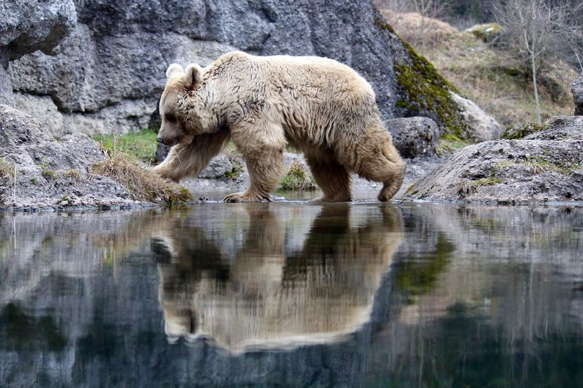 mirror, mirror EyeEmNewHere Young Animal Water Young Bear Brownbear One Animal Bear Animal Wildlife Water Rock - Object Animal Mammal Reflection River Nature Outdoors Day Full Length Shades Of Winter The Great Outdoors - 2018 EyeEm Awards