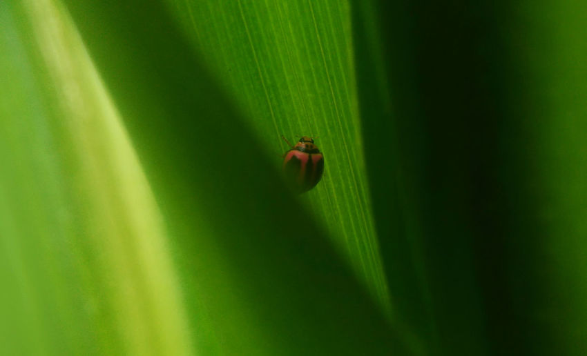 Hiding in Leaf East Java Great Shot☆ Green INDONESIA Ladybug Animal Themes Animal Wildlife Animals In The Wild Beauty In Nature Close-up Day Green Color Hide Hide And Seek Insect Ladybug Leaf Nature No People One Animal Outdoors Tiny Wildlife