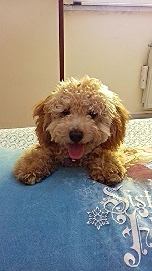 Puppy Love Poodletoy Pet Therapy Dogs Of EyeEm Nice Poodlepuppy Pettherapy Poodle🐩 Pet Poodle Love Barboncino Puppy Pets Protruding Dog Portrait Sticking Out Tongue Poodle Animal Tongue Close-up Hairy  Canine Animal Mouth