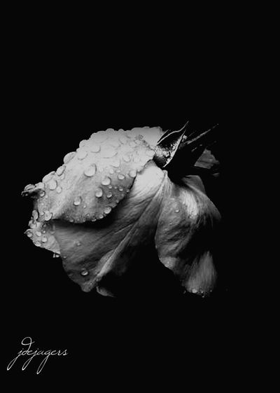 Two of the things I love...rain and roses. Raindrops Raindrops On Flowers Raindropsonroses Rain Rose - Flower Dejagersphotography Julia De Jagers Blackandwhite Black Background Water Flower Head Flower Close-up Blooming Single Flower Single Rose