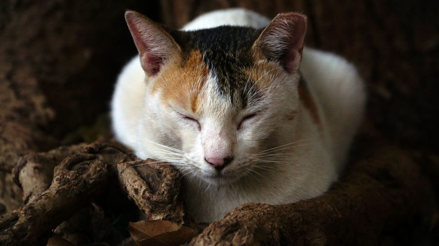 Animal Head  Focus On Foreground Whisker No People Close-up Vertebrate Domestic Animals Pets Domestic Feline Domestic Cat Animal Themes Animal One Animal Cat Mammal Sleeping Cat Winking Cat Cat In Rest Cat In Sleep